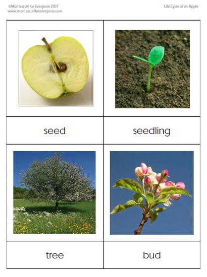 preschool printable apple life cycle